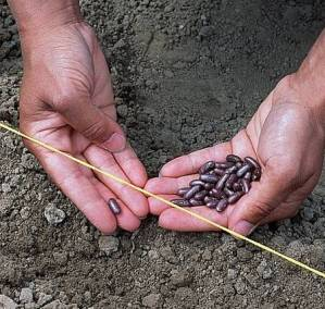 Semis en place de haricots d'Espagne