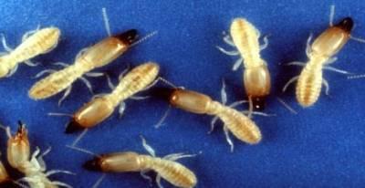 Les Termites de Saintonge